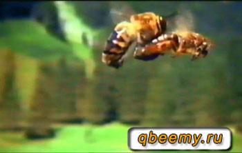 Как происходит облёт пчелиной матки
