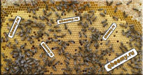 Стадии развития пчел