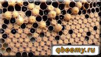 Трутни пчелы