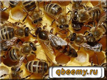 Строение пчелиной матки