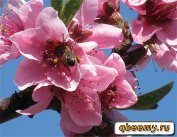 пчёлка на цветочке