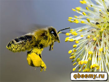 пыльца на цветке и на пчеле
