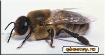 Строение трутня пчелы
